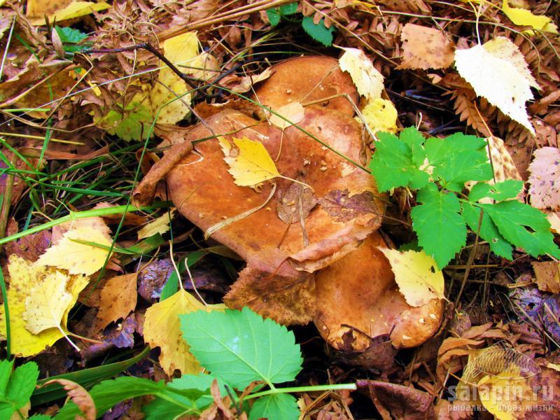 Мангале блюда из грибов синяя ножка